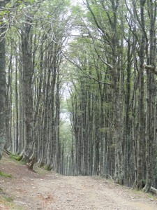Beautiful beach wood forest on way to Roncesvalles